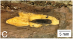 Canker of Thousand Cankers Disease on Black Walnut